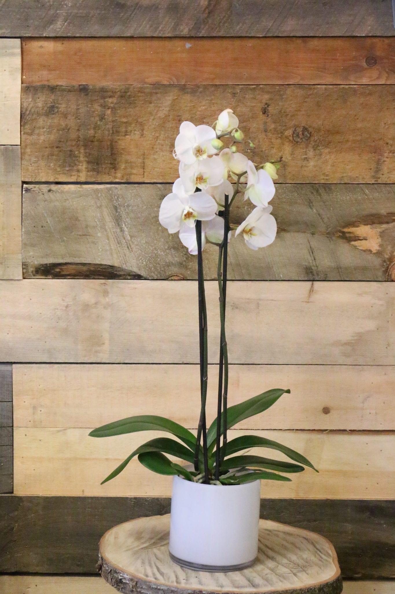 orchid e phalaenopsis 2 tiges fleuriste montr al le. Black Bedroom Furniture Sets. Home Design Ideas