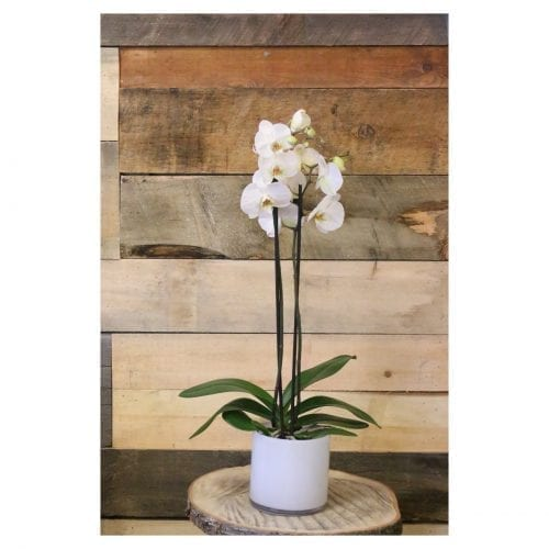 orchidee phalaenopsis blanche