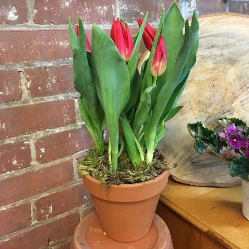 tulipes en pot
