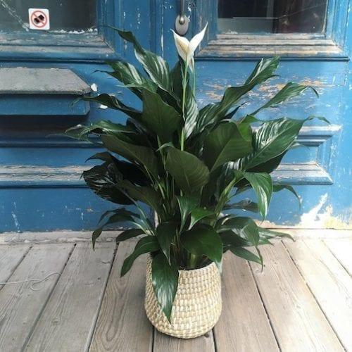plante spathiphyllum, spathiphyllum, fleurs de lune