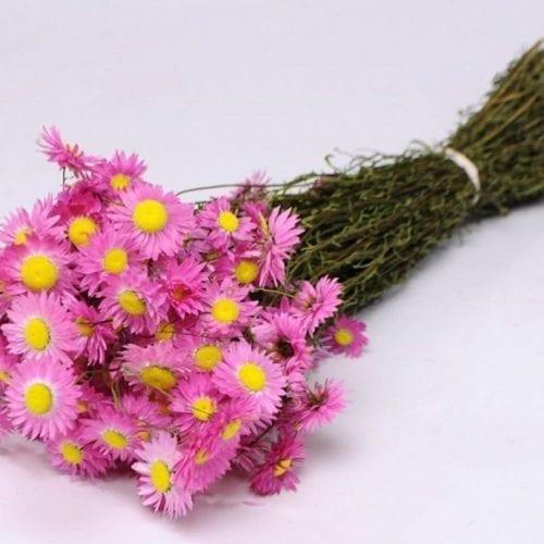 Acroclinium rose 50cm