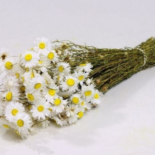 Acroclinium blanc 50cm