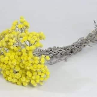 Helichrysum Immortelle 30cm jaune
