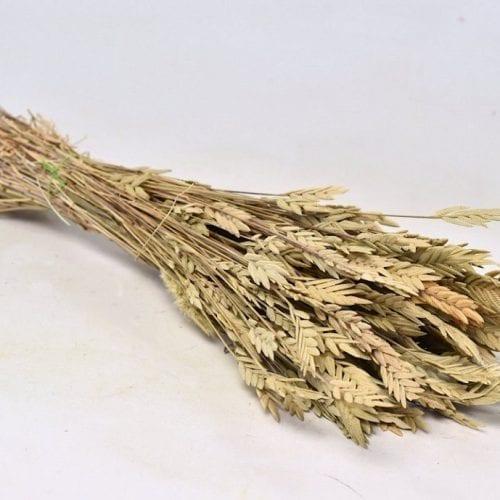 Spiga d'Oro 50cm