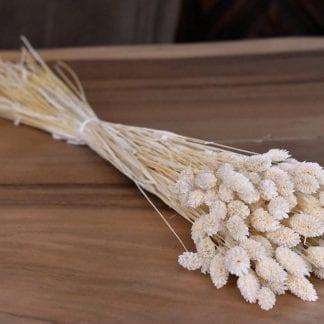 Phalaris blanchi